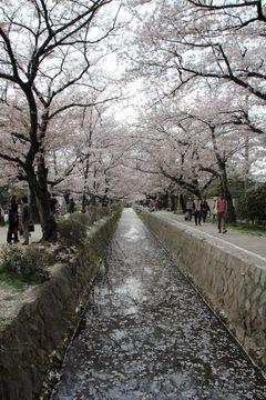 2014sakura_shirakawa_sosuido_01.jpg