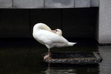 layback_ina-bauer_swan.jpg